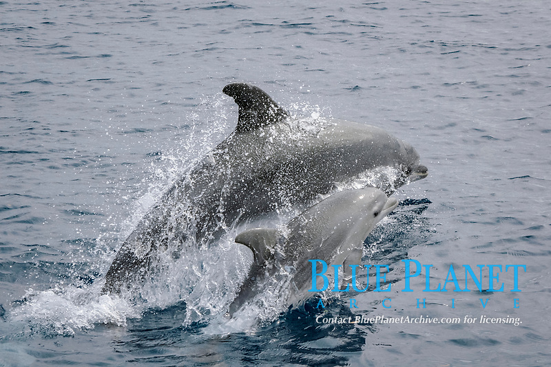 Mother and calf, bottlenose dolphin, Tursiops truncatus, Azores Islands, Portugal, North Atlantic