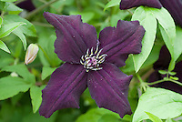 Clematis need id, similar to Black Prince, dark purple with four petals
