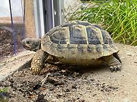 Griechische Landschildkröte geht zurück ins das Schildkrötenhaus - Büttelborn 22.04.2021: Griechische Landschildkröte