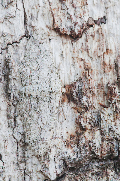 Owl Moth (Thysania zenobia), adult on Hackberry Tree Bark camouflaged, Sinton, Corpus Christi, Coastal Bend, Texas Coast, USA
