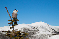 A Gray Jay enjoys a perfect day above treeline on Mount Pierce in the White Mountains.  Mount Washington looms in the background.