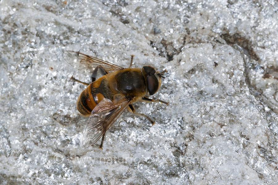 Große Bienenschwebfliege, Bienen-Schwebfliege, Mistbiene, Schlammfliege, Scheinbienen-Keilfleckschwebfliege, Männchen, Eristalis tenax, drone fly, dronefly, male, L'éristale gluant, L'éristale tenace