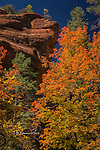Maples and Cliff, West Fork of Oak Creek, Arizona