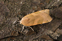 Gelbe Bandeule, Bunte Bandeule, Große Bandeule, Noctua fimbriata, Triphaena fimbria, Agrotis fimbria, Broad-bordered Yellow Underwing, Eulenfalter, Noctuidae, noctuid moths, noctuid moth