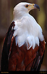 African Fish Eagle, African Sea Eagle, Haliaeetus vocifer