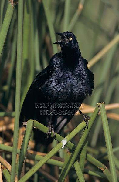 Great-tailed Grackle, Quiscalus mexicanus, male singing, Welder Wildlife Refuge, Sinton, Texas, USA, May 2005