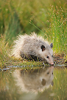 Virginia Opossum (Didelphis virginiana), young drinking from wetland lake, Fennessey Ranch, Refugio, Coastal Bend, Texas Coast, USA