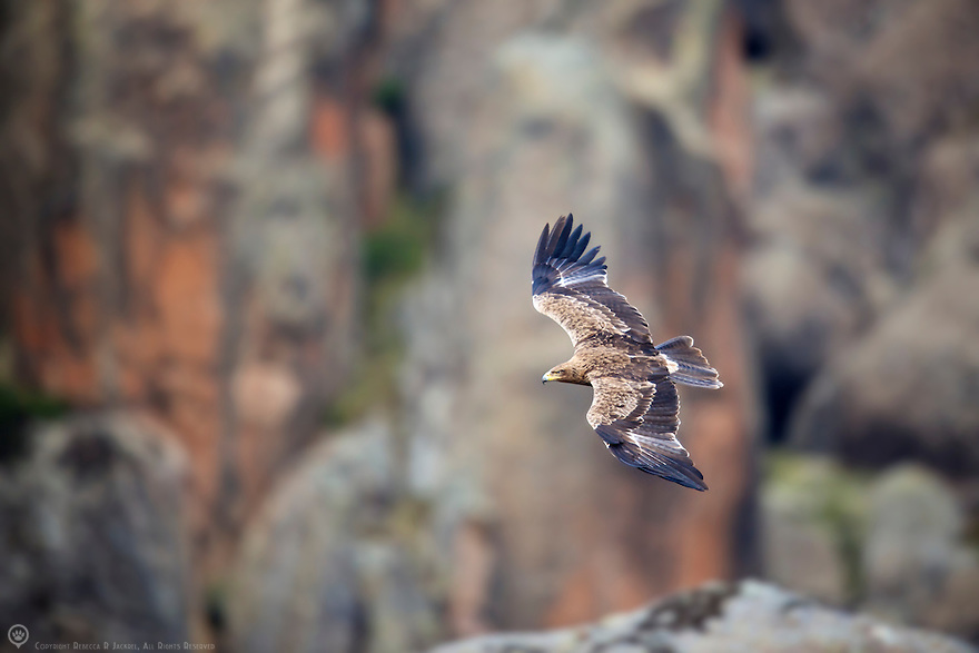A Tawny Eagle soars among the rocks of the Rafu Lava Flow in search of rodent prey.