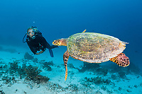 Hawksbill Sea Turtle and Scuba diver, Eretmochelys imbricata, North Male Atoll, Maldives