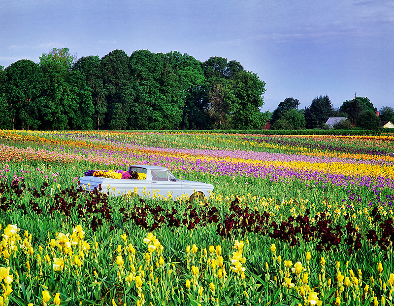 Vehicle collecting iris from Cooley's farm. Oregon.