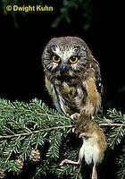 OW03-012z  Saw-whet owl - with mouse prey - Aegolius acadicus