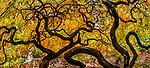 Japanese maple, Washington Park Arboretum, Seattle, Washington, USA