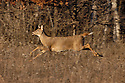 00275-198.14 White-tailed Deer (DIGITAL) doe is bounding with tail raised in meadow during fall.  Run, action, hunting.  H6L1