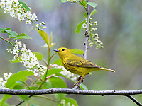 yellow warbler or American yellow warbler, Setophaga petchia, in spring in a blossoming tree, Nova Scotia, Canada