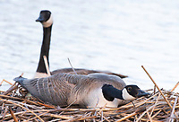 A pair of Canada Geese, Branta canadensis, on their nest at Lake Ewauna, Oregon