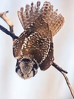 A Northern Hawk Owl snaps from a perched position into a dive.<br /> Northern Hawk Owls possess keen eyesight, allowing them to locate prey the size of a vole from a half- mile away.