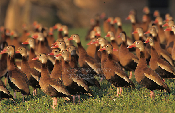 Black-bellied Whistling-Duck, Dendrocygna autumnalis, group in yard, The Inn at Chachalaca Bend, Cameron County, Rio Grande Valley, Texas, USA, May 2004