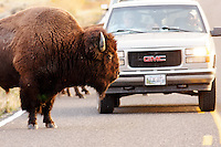 Male bison standing on park road in front of traffic in autumn near Swan Lake, Yellowstone National Park, Wyoming, USA