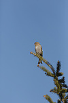 Pine siskin perched in a spruce tree