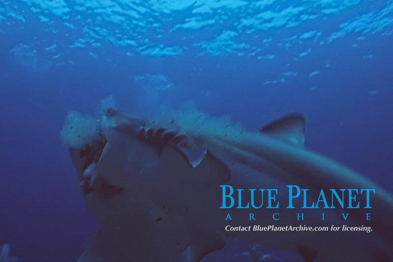 Caribbean reef sharks attacking bait, Carcharhinus perezii, Bahamas ( Atlantic Ocean )