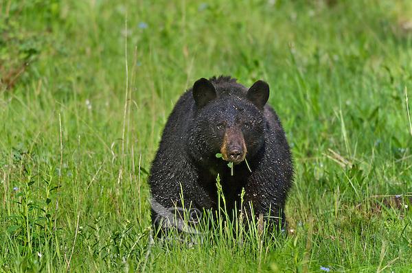 Wild, adult, Black Bear (Ursus americanus) eating vegetation.  Western U.S., spring.