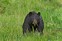 Wild, adult, Black Bear (Ursus americanus) eating vegetation.  Western U.S., spring.