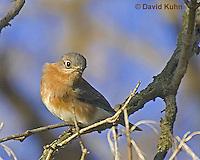 "0121-07zz  Eastern Bluebird ""Virginia"" - Silialia Sialis - © David Kuhn/Dwight Kuhn Photography"