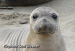 FB-M39   Elephant seal weaner.  2X3 Photo magnet