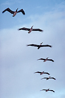 Flock of pelicans, Florida