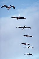 Flock of pelicans, Florida