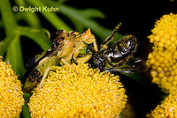 AM06-502z  Ambush Bug feeding on insect, tansey flowers, Phymata americana