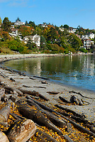 Sandy cove covered with yellow leaves and wood logs, surrounded by houses during fall season, East Pacific ocean, Victoria City, south of Vancouver Island, British Columbia, Canada, North America
