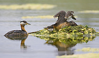 Red-necked Grebes about to trade nest tending duties