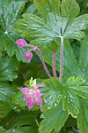 Vashon Island, Washington<br /> Geranium's pink buds