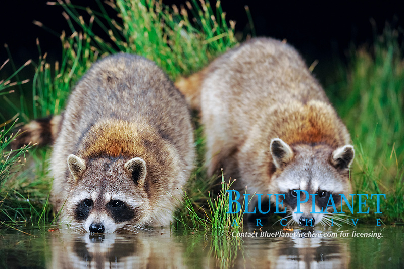 Northern Raccoon (Procyon lotor), adults at night drinking from wetland lake, Fennessey Ranch, Refugio, Coastal Bend, Texas Coast, USA, North America