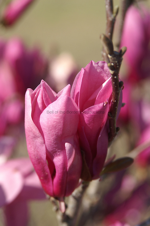 Japanese magnolia blossoms before they were killed by a late flrost.