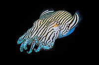 striped pyjama squid, Sepioloidea lineolata, digs in sand with only eyes exposed, South Australia