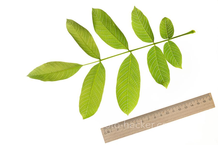 Walnuss, Walnuß, Wal-Nuss, Wal-Nuß, Juglans regia, Walnut, Noyer commun. Blatt, Blätter, leaf, leaves