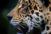 É o maior felino das Américas e o único representante atual do gênero Panthera no continente. O seu corpo é robusto, musculoso e compacto, com comprimento variando entre 1,10 a 2,41 m e massa entre 35 a 130 kg, podendo chegar a 158 kg. As fêmeas são até 25% mais leves do que os machos.<br /> Uma onça-pintada pode ocupar, durante sua vida, uma área que pode variar de 33,4 km² até 142,1 km².<br /> A coloração padrão varia do amarelo-claro ao castanho-ocreáceo, sendo coberta por manchas negras, formando rosetas de tamanhos distintos, com pintas em seu interior.<br /> A espécie possui um padrão de atividade crepuscular-noturno e mais de 85 espécies-presa já foram relatadas em sua dieta. Suas principais presas são a queixada (Tayassu pecari) e a capivara (Hydrochaeris hydrochaeris).<br /> As onças-pintadas são encontradas em altitudes entre o nível do mar e 3.800 m, e são solitários. A interação entre machos e fêmeas ocorre apenas durante o período de acasalamento.<br /> A gestação varia de 90 a 111 dias, podendo nascer de um a quatro filhotes, sendo a média de dois filhotes por gestação (SILVEIRA, L.; CRAWSHAW JR., P., 2008).<br /> <br /> Belém, Pará. Brasil <br /> 15/05/98<br /> ©Foto: Paulo Santos/ <br /> <br /> Negativo Cor 135 N∫ 6711 T3 F24a