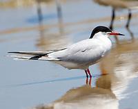 Forster's tern in breeding plumage