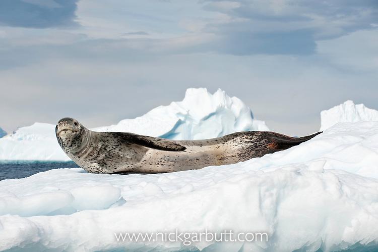 Leopard Seal (Hydrurga leptonyx) lying on ice floes, Yalour Islands, Antarctic Peninsula, Antarctica.