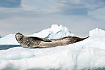 Leopard Seal (Hydrurga leptonyx) lying on ice floes, Yalour Islands, Antarctic Peninsula, Antarctica.