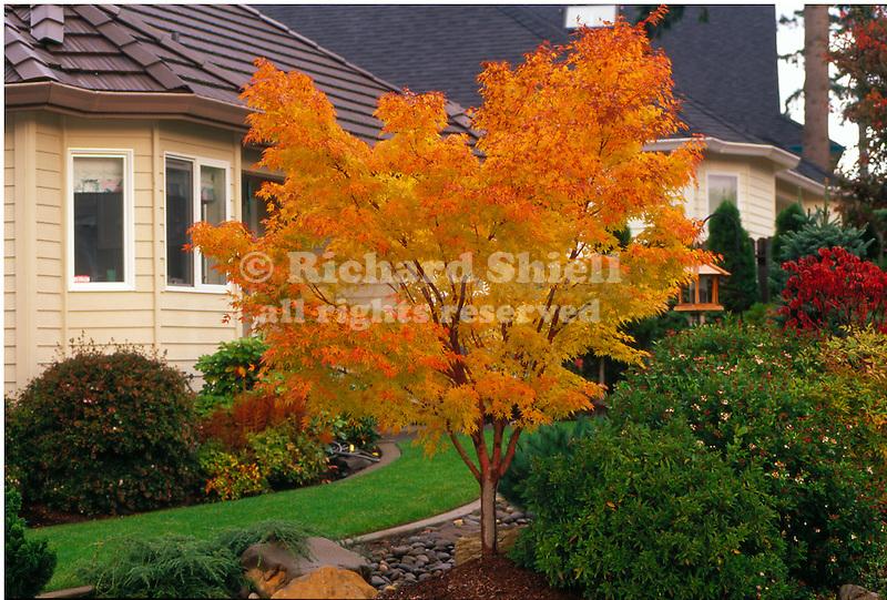 11138-CD Coral Bark Japanese Maple, Acer palmatum `Senkaki' or `Sangokaku', fall color in residential landscape at Camus, Washington.