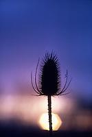 Teasel Dipsacus silvestris Single spiky seed pod against a purple and orange sky #5163. Oregon.