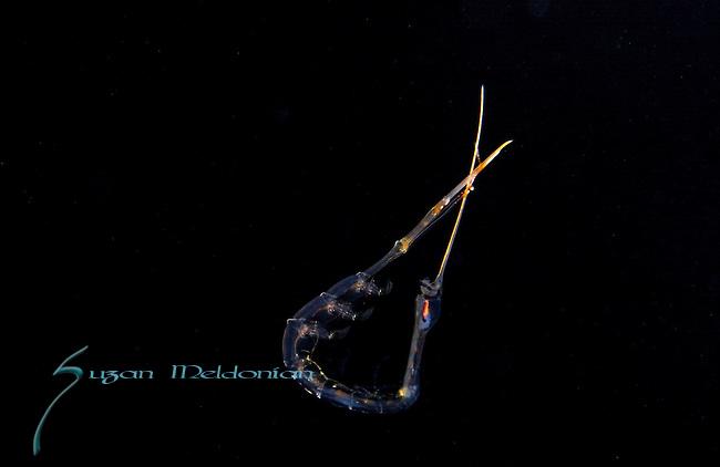 Amphipod, Rhabdomsoma , Plankton; larval fish; pelagic larval marine life, Gulf Stream Current, SE Florida; Atlantic Ocean;