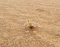 Namib Web-footed Gecko at Swakopmund, Namibia