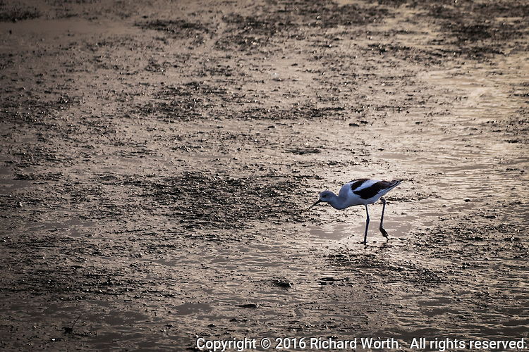 An American Avocet pokes into the muddy shore along San Leandro Bay, feeding at low tide in the late afternoon glow.