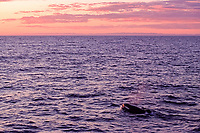orca or killer whale, Orcinus orca, Keiko, the killer whale star of the blockbuster Hollywood movie, Free Willy, swimming free in open ocean, Vestmannaeyjar, Westman Islands, Iceland, North Atlantic Ocean