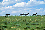 Wild Horses run through the Red Desert in Wyoming.