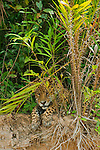 A solitary jaguar lays partially hidden by the verdant jungle foliage, its paws resting over the riverbank, watching the water below for prey in the Pantanal, in Mato Grosso, Brazil.